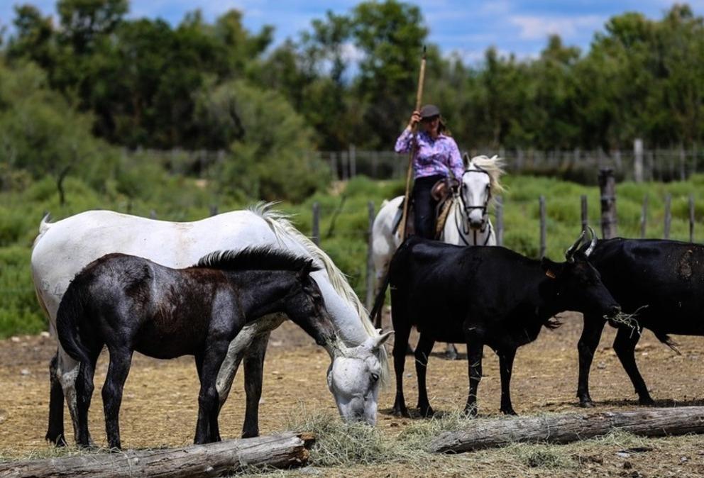 manade tri taureau