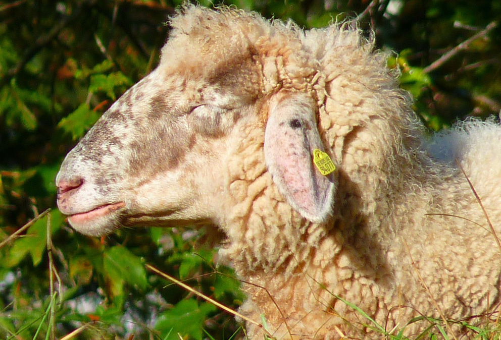 berger mouton provence istres