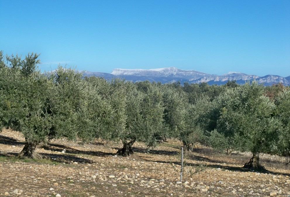 oliviers alpilles fete mouries