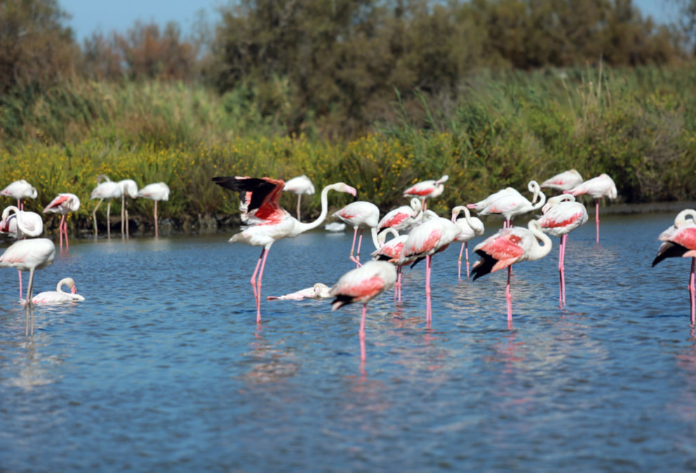 flamant rose camargue