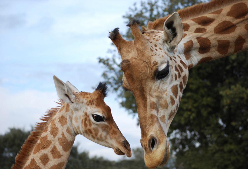 girafe zoo barben