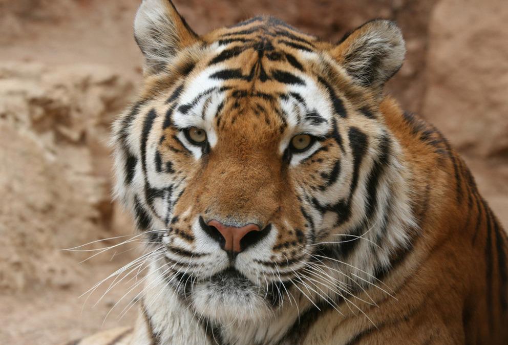 tigre zoo barben