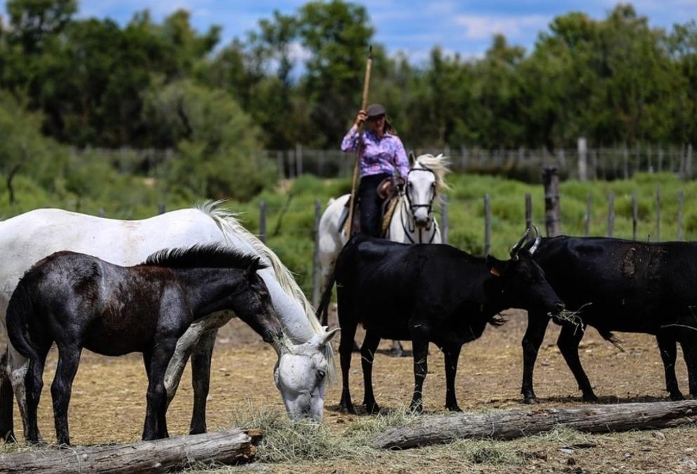 manade taureau cmargue