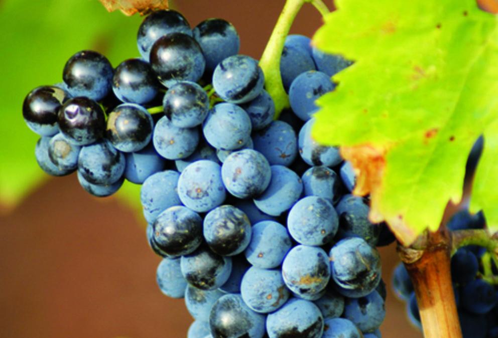 vins languedoc